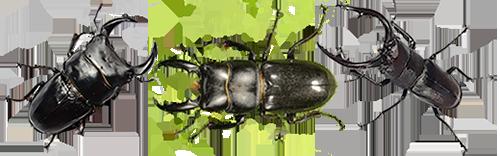 왕사슴벌레 왕사슴벌레 왕사슴벌레 왕사슴벌레 왕사슴벌레 왕사슴벌레